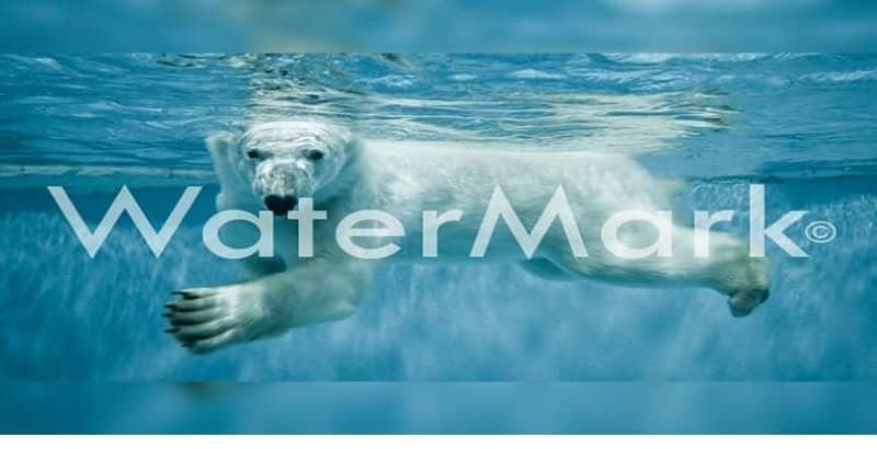 fotografia oso polar marca de agua